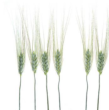 Wheat 1 by Rebecca Cozart