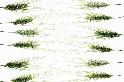 Wheat 2 by Rebecca Cozart