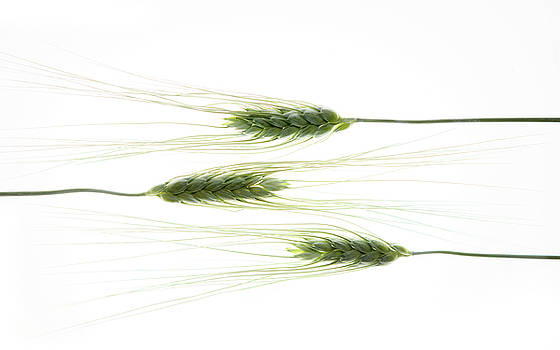 Wheat 3 by Rebecca Cozart