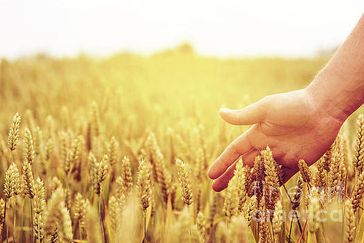 Wheat ears field by Jelena Jovanovic