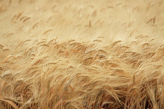 Wheat Field by Mark Hendrickson