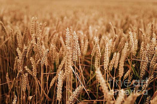 Wheat field by Viktor Pravdica