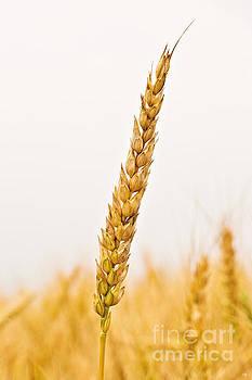Scott Pellegrin - Wheat Head