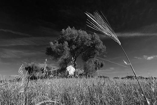 Pedro Cardona Llambias - wheat land black and white