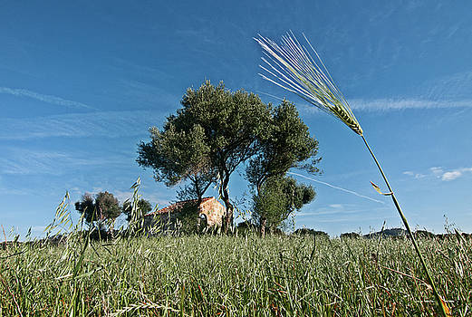 Pedro Cardona Llambias - wheat land in spring time