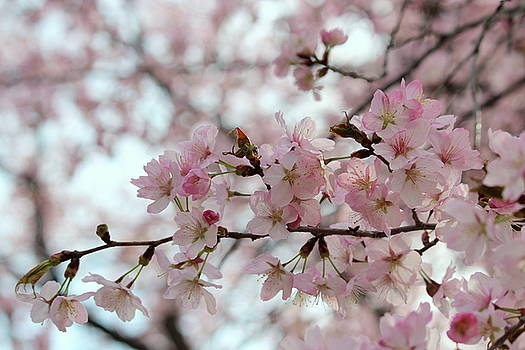 Rosanne Jordan - When Cherry Blossoms Bloom