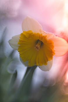 When Daffodils smile by Sharon Wilkinson