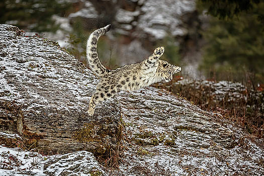 When Snow Leopards Fly by Wes and Dotty Weber