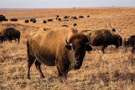 Where the Buffalo Roam by Jay Stockhaus