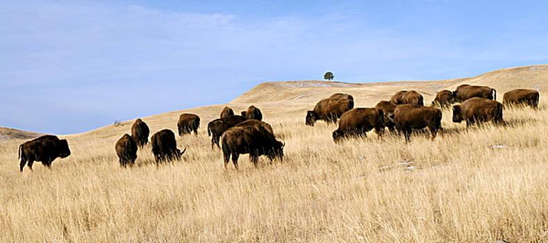 Larry Ricker - Where the Buffalo Roam