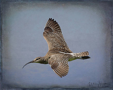 Whimbrel - 1627,ST by Wally Hampton