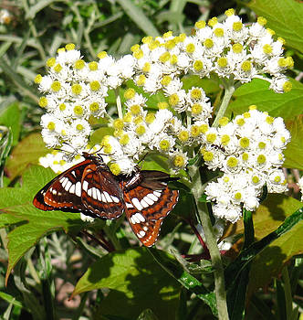 White Admiral by Tracey Levine