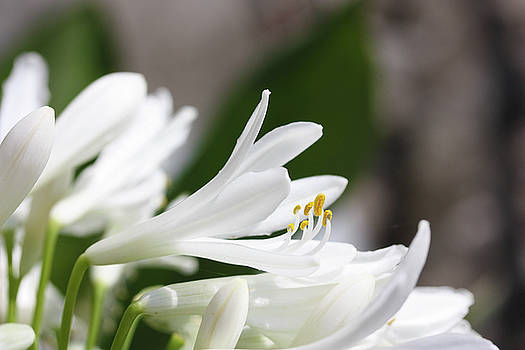 White Agapanthus by Linda Foakes