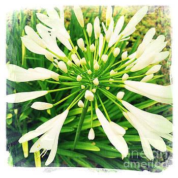 White Allium by Nina Prommer