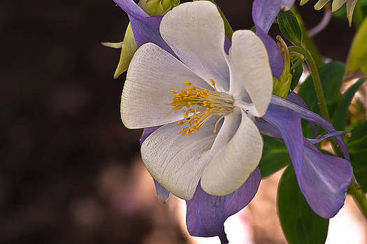 White and Purple Columbine by Emerald Studio Photography