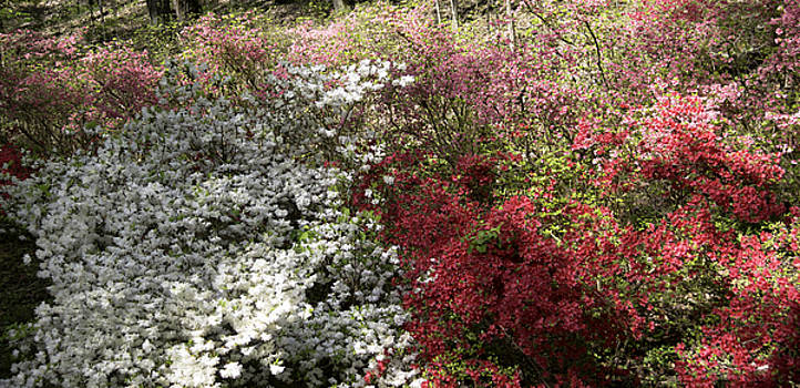 Teresa Mucha - White and Red Azaleas in Happy Hollow Park