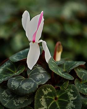 White and Red Cyclamen by Frank Goss