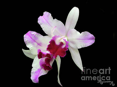 White and Red Orchids by Mariarosa Rockefeller
