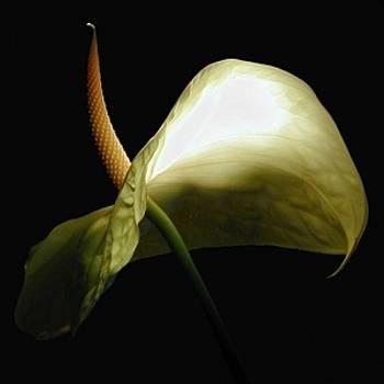 White Antherium by Richard Nodine