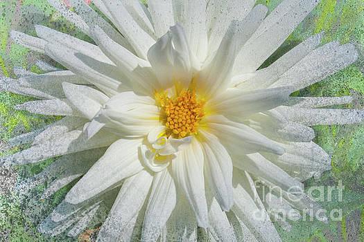 Heiko Koehrer-Wagner - White Asteraceae