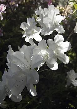 White Azaleas by Heather S Huston
