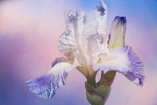White Bearded Iris by Cindi Ressler