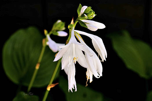 White Beauty by Nena Pratt