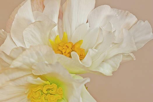 Sandra Foster - White Begonia Ruffles