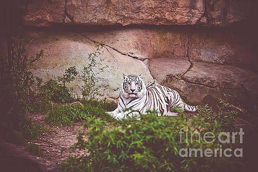 White Bengal Tiger by Joan McCool