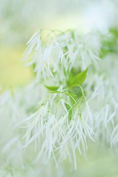 White Bloom of Fringetree by Jenny Rainbow