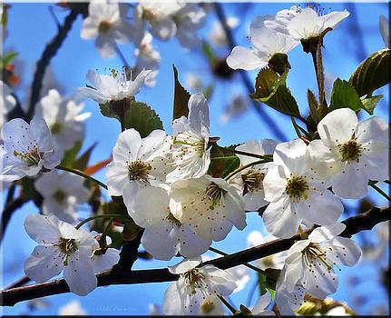 White Blossom Beauties by Mikki Cucuzzo