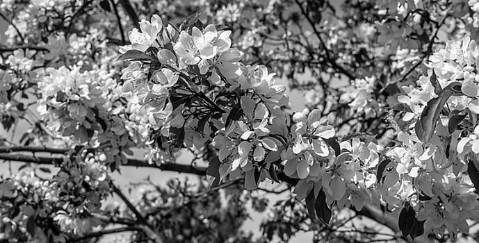 White Blossoms In Black And White by Michael Putthoff
