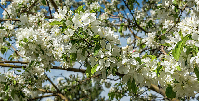 White Blossoms by Michael Putthoff