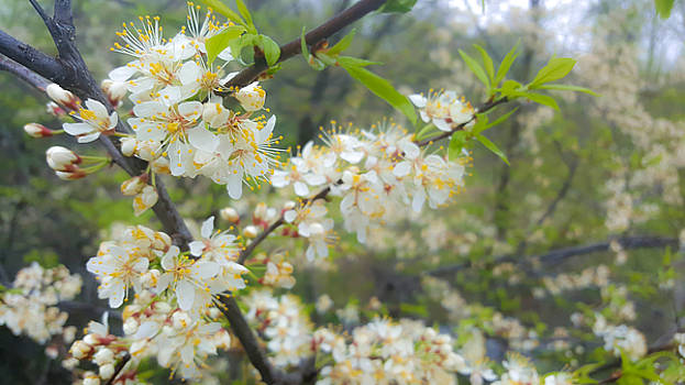White Blossoms on Fruit Tree by Lynn Hansen