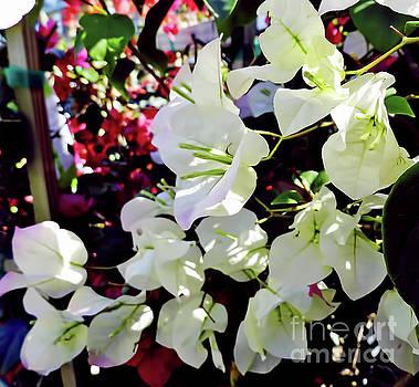 White Bougainvilleas In The Garden by D Hackett