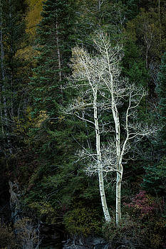 Rick Strobaugh - White Branches in the Forest