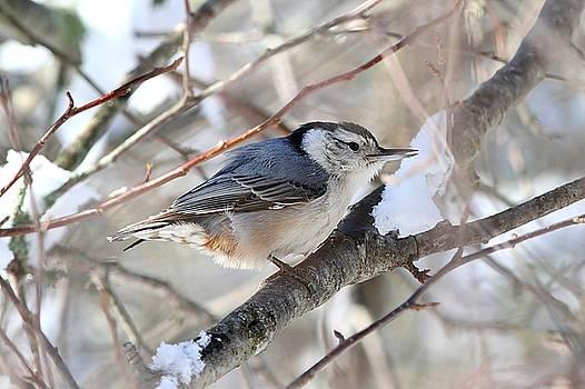 White-breasted Nutchatch - winter by Linda Crockett