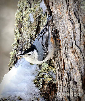White-breasted Nuthatch in Spring Snow by Kerri Farley