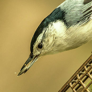 White-Breasted Nuthatch by Jim Moore