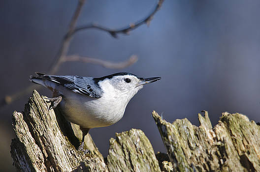 Christine Kapler - White breasted Nuthatch on a perch in the winter