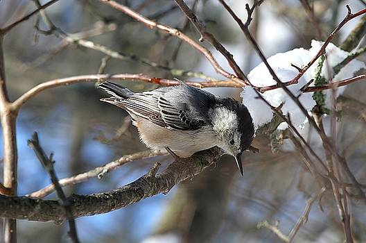 White-breasted Nuthatch on a winter day by Linda Crockett