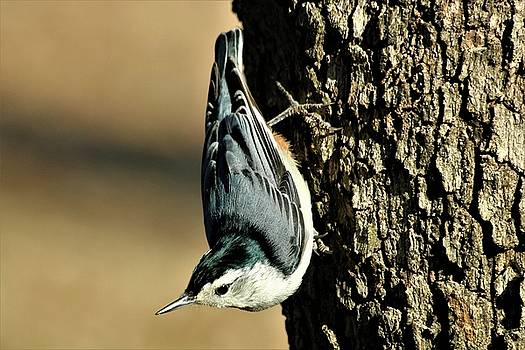 White-Breasted Nuthatch on Tree by Sheila Brown