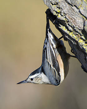 White-breasted Nuthatch by Stephen Flint