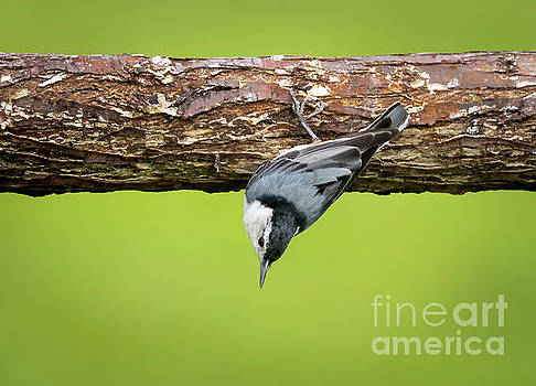 White-breasted Nuthatches by Ricky L Jones