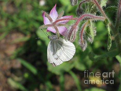 White butterfly 5454 by Murielle Sunier