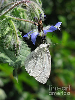 White butterfly 5457 by Murielle Sunier
