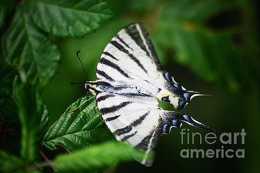 White butterfly by Dimitar Hristov