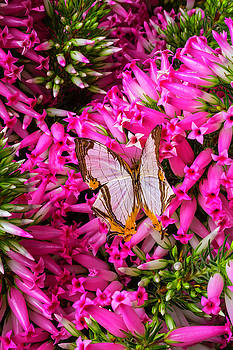White Butterfly In Pink Heather by Garry Gay