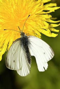 White butterfly by Jouko Mikkola