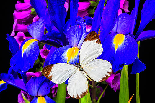 White Butterfly On Blue Iris by Garry Gay